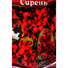 Бузок крупноцвітковий червоний