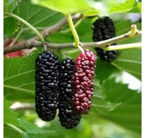Mulberry (moth) of Shelley's turn