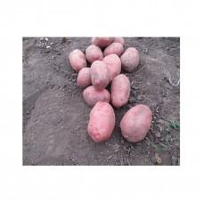 Картопля Санібель