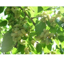 Mulberry (Morva) White Medova